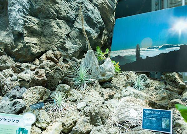 ▲The Hawaii silversword is an alpine plant of Hawaii, a peculiar species that blooms flowers only once in its entire lifetime. The leaves are covered in beautiful silver hairs, which protect the plant from the strong sun of the high mountain areas.