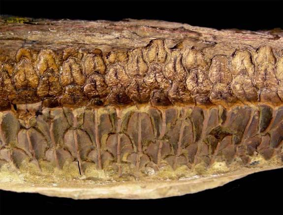 Huge, plant-eating dinosaurs called hydrosaurids had complex teeth (a battery of teeth shown here) like horses, likely rivaling these and other mammals in their chomping abilities, suggests new research detailed on Oct. 5 in the journal Science