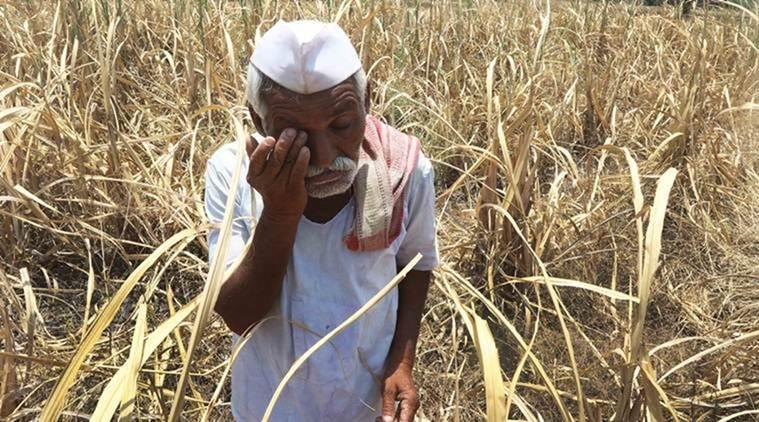 Jalandhar: Wheat farmers warned against Yellow Rust attack