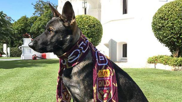 PHOTO: Gavel the German shepherd was given the job of Vice-Regal Dog to the Governor of Queensland after he flunked out of police dog academy for being too friendly. (Governor of Queensland/Facebook)