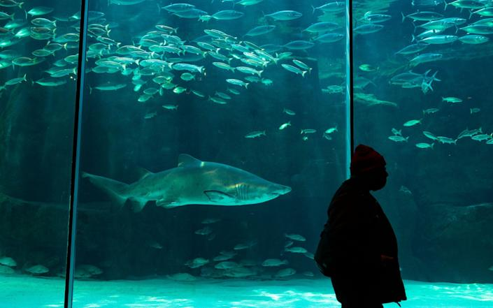 A man walks past a Ragged Tooth shark swimming amongst fish in the Two Oceans Aquarium as it officially reopened after more than five months of closure due to lockdown in Cape Town, South Africa - Nic Bothma/EPA-EFE/Shutterstock