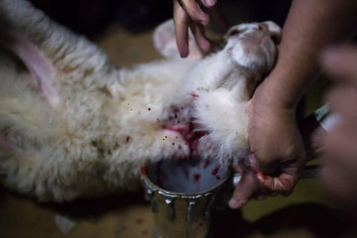 FILE PHOTO: Orthodox Jewish men slaughter a sheep as they collect its blood in a container during a reenactment ceremony of the Passover sacrifice in Jerusalem