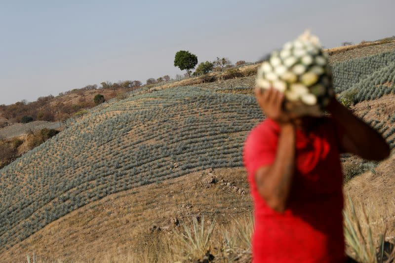 FILE PHOTO: A farmer, also known as a jimador, carries a blue agave heart during harvest in Tequila