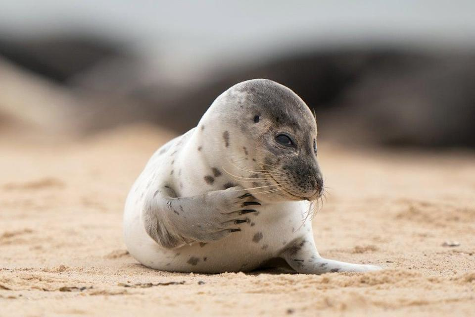 There are already some seal pups on the beach (Joe Giddens/PA) (PA Wire)