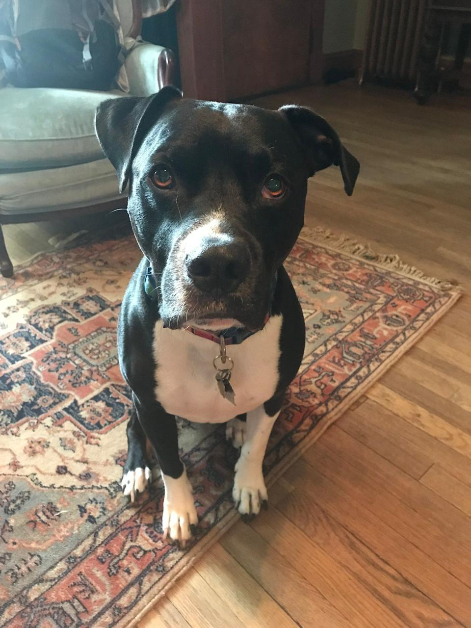 Gumbo is a 7.5 year old black and white pitbull-boxer mix. He went missing over Memorial Day weekend in Atlanta. (Credit: Michael Tyler)