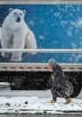 A man walks past a delivery truck featuring a polar bear as the snow begins to fall in Worcester