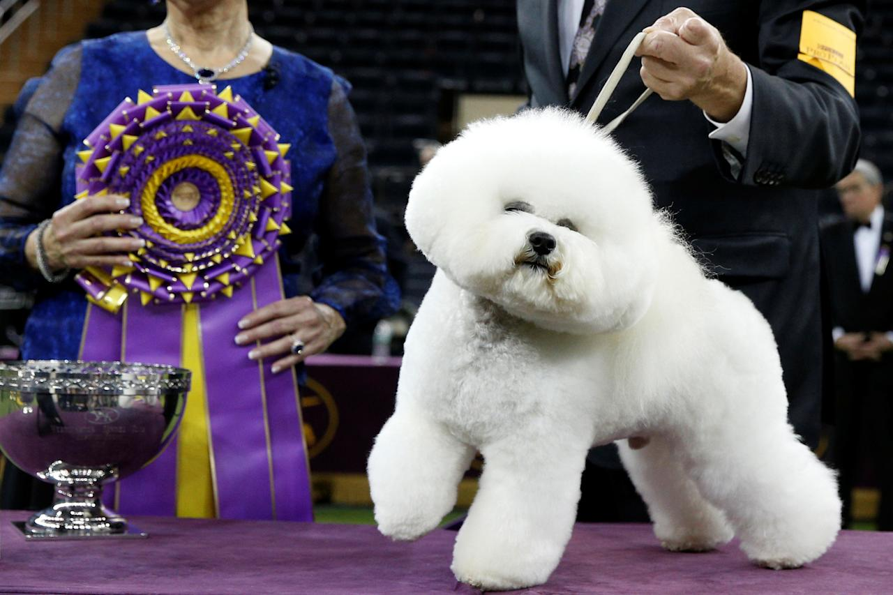 <p>Flynn, a bichon frise and winner of Best in Show, poses at after winning the 142nd Westminster Kennel Club Dog Show in New York, Feb. 14, 2018. (Photo: Brendan McDermid/Reuters) </p>