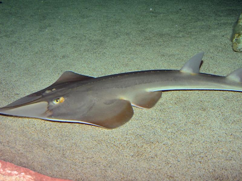 Wedgefish and guitarfish (pictured) are the most endangered marine group left in the ocean and are relentlessly targeted for their their fins: Johan Fredriksson / Creative Commons