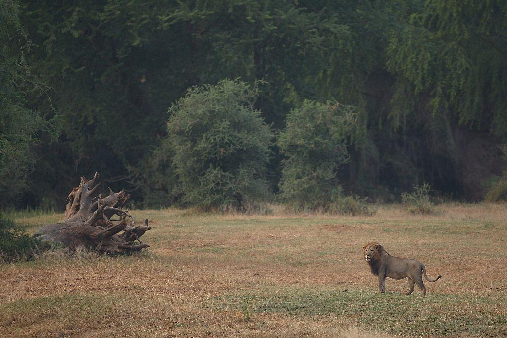 A lion walks through the Pafuri game reserve in Kruger National Park, South Africa.