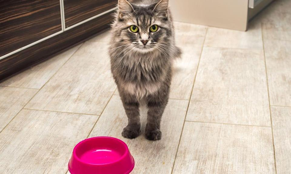 Gray fluffy cat with yellow eyes in the kitchen waiting for food