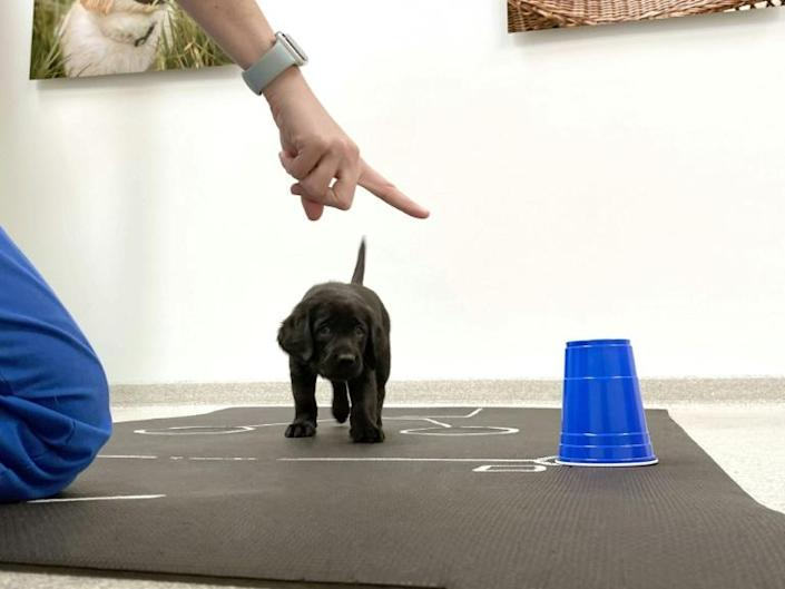 Puppy pointers: an image from Canine Companions shows an eight-week-old black retriever puppy following a person pointing, part of a new study which shows genetics play a role in dogs' interactions with people
