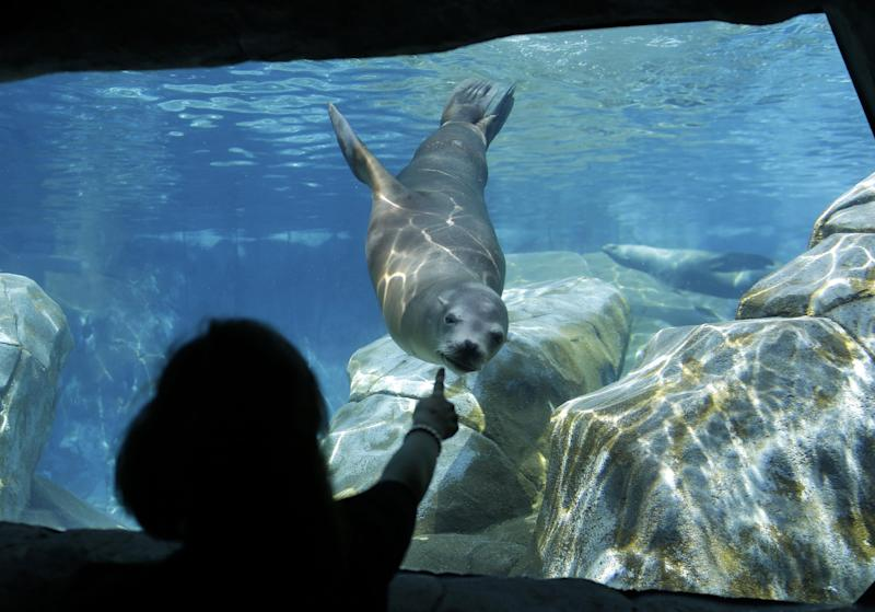 FILE -- In this Sept. 5, 2013 file photo, a visitors to the Saint Louis Zoo points as a sea lions frolics in an exhibit in St. Louis. The zoo is considered one of the best in the nation, and one of the few that with no admission fee. Funding comes from a cultural tax district, the Metropolitan Zoological Park and Museum District, though fees are charged for some special attractions. (AP Photo/Jeff Roberson, File)