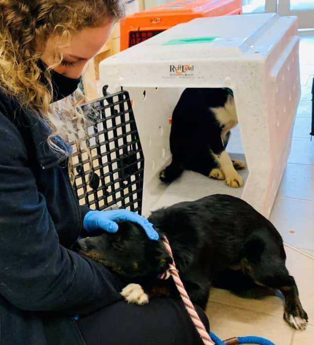 'The lack of socialization really is the biggest challenge to get them into homes and get them adopted,' said Sandra Flemming. (Nova Scotia SPCA/Facebook - image credit)