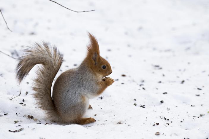 "In this photo taken on Monday, Feb. 3, 2014, a squirrel eats nuts in Moscow's ""Neskuchny Sad"" park in Moscow, Russia. One by one, the bushy-tailed residents of Moscow's parks have been disappearing. The problem: Russians have gone nuts for squirrels. City official Alexei Gorelov told the Associated Press on Wednesday that he has received multiple reports of squirrel poaching in local parks. In response, municipal authorities on Jan. 31 ordered bolstered security for all of Moscow's green areas. (AP Photo/Alexander Zemlianichenko)"
