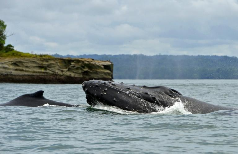 """Scientists believe that humpback whale mothers and calves communicate by """"whisper"""" to avoid predators"""