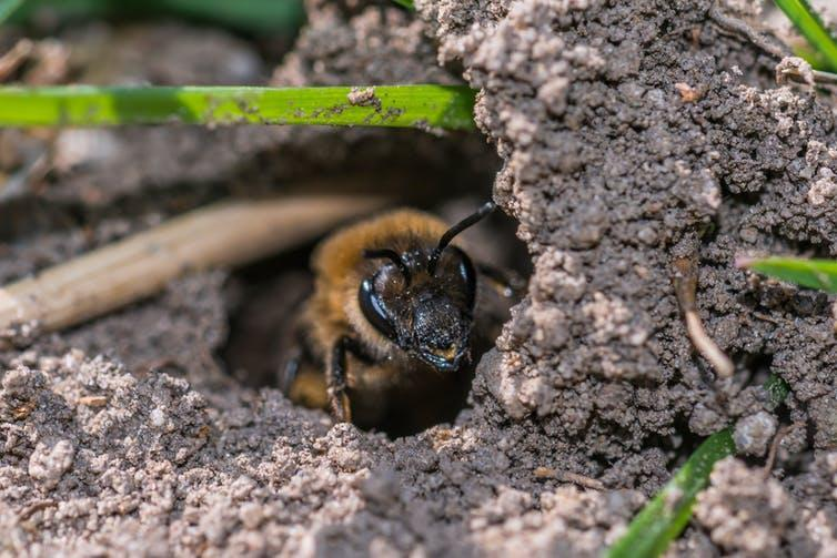 A bee emerges from a hole it dug in the ground.