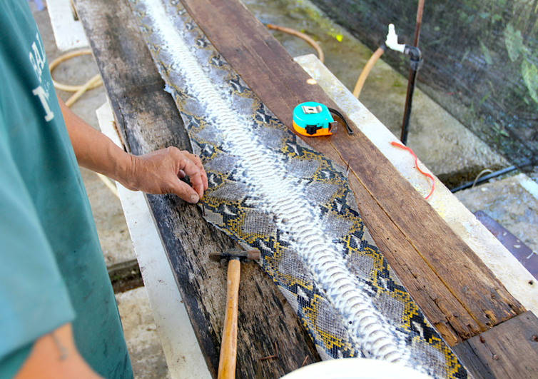 Man preparing a python leather on a table