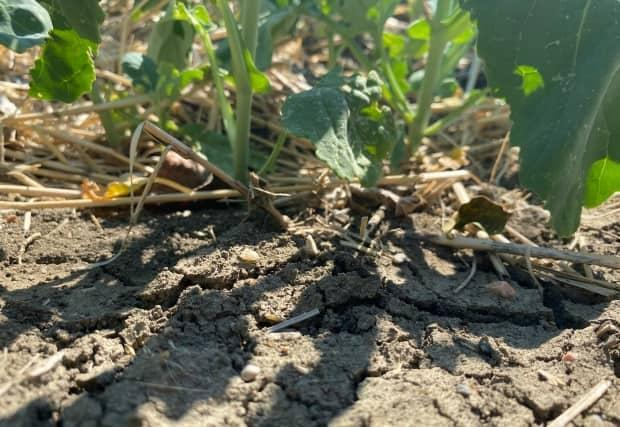 Crops on farmland near Regina are showing signs of heat stress.  (Kirk Fraser/CBC - image credit)