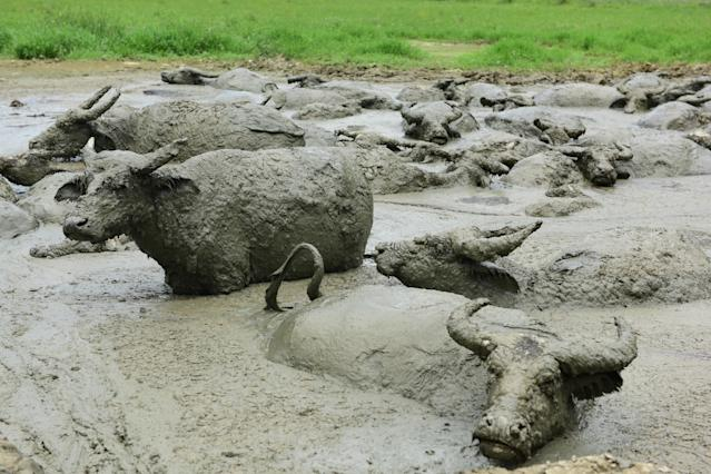 <p>Water buffaloes wallow in a muddy pool to escape summer heat and prevent mosquito bites at Jiaoyuan Town on September 3, 2018 in Xuan'en County, Hubei Province of China. (Photo by Xie Shun/VCG via Getty Images) </p>