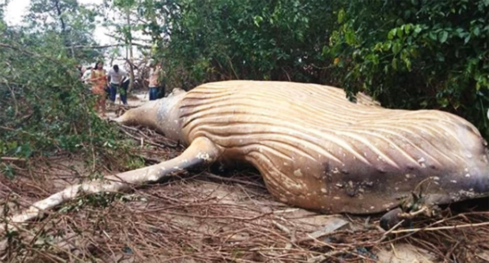 The 12-month-old whale was found washed up dead on the island of Marajo in Brazil's north, a region where the rainforest meets the sea. Source: Instagram/bicho_dagua