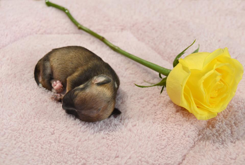 At a little more than 2 weeks old, see how Beyonce compares in size to a rose.