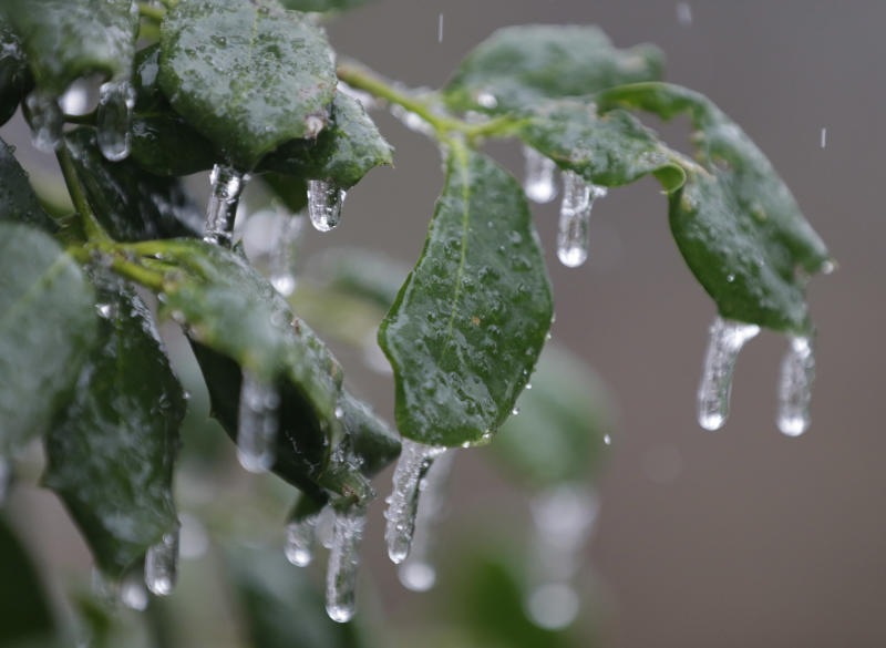 Ice forms on holly leaves as sleet falls in Richmond, Va., Sunday, Dec. 8, 2013. A powerful storm system that spread hazardous snow, sleet and freezing rain widely across the nation's midsection rumbled toward the densely populated Eastern seaboard on Sunday. (AP Photo/Steve Helber)