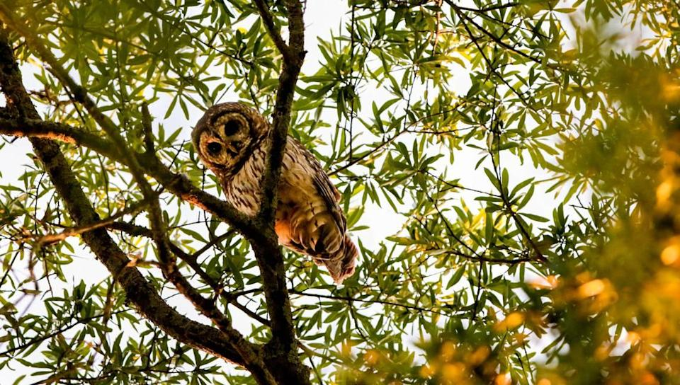 An adult barred owl peers down from a tree in Melrose Heights where it has a nest. Neighbors have been keeping an eye on the birds and a baby who fell from the nest.