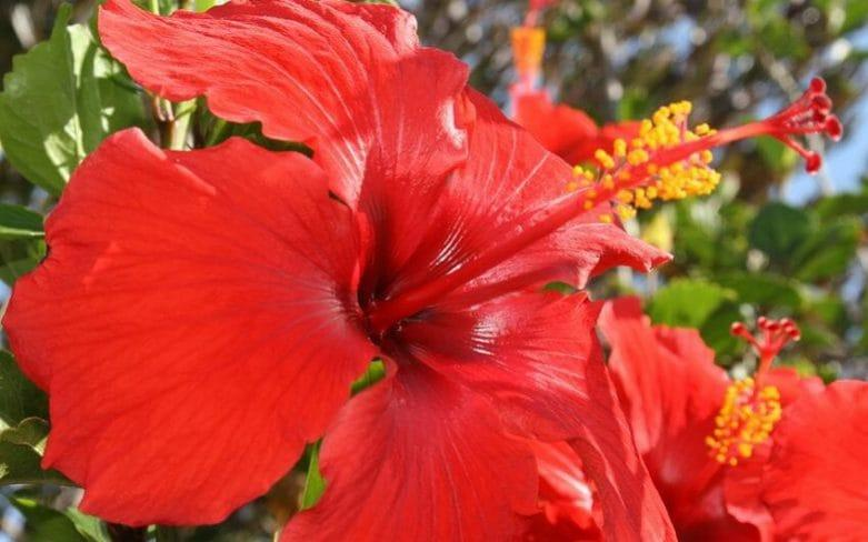 Hibiscus rosa-sinensis - Gap photos