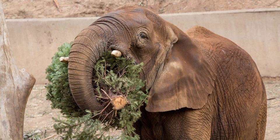 """<p>Who needs sugar cookies? For the elephants at the Oakland zoo, <a href=""""https://people.com/pets/photos-leftover-christmas-trees-become-treats-for-oakland-zoo-animals/"""" rel=""""nofollow noopener"""" target=""""_blank"""" data-ylk=""""slk:leftover Christmas trees were the treat"""" class=""""link rapid-noclick-resp"""">leftover Christmas trees were the treat</a>.</p>"""