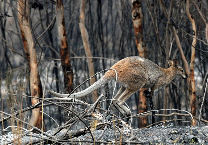 Wildlife carers around Australia are calling on governments to halt land clearing and shooting after kangaroos have been decimated by fires. Source: AAP