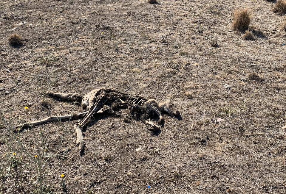 The skeleton of a dead kangaroo in a drought affected field.
