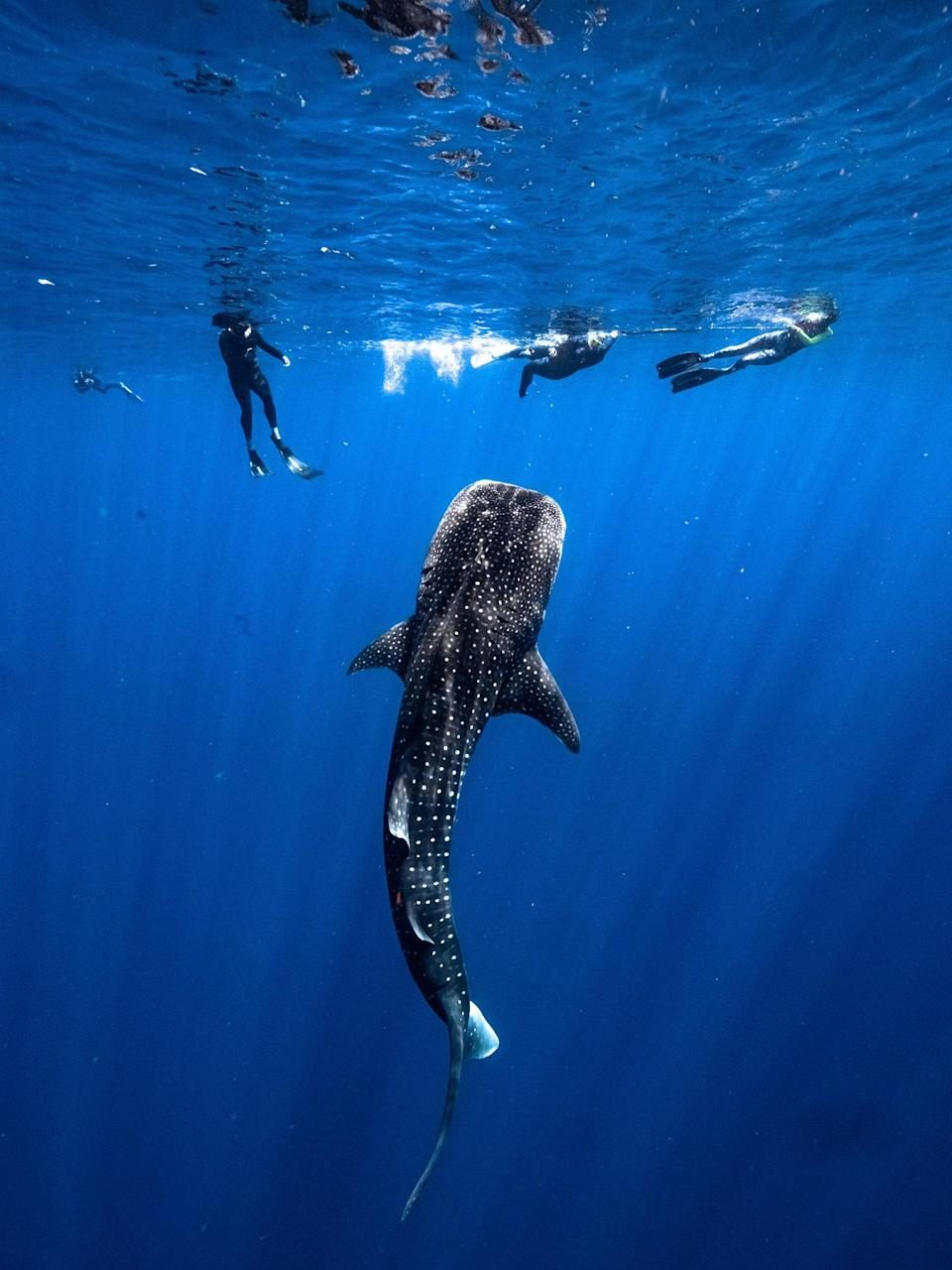 With Western Australia-based tour operator Ningaloo Discovery, travelers can book a sailing catamaran tour to swim with whale sharks.