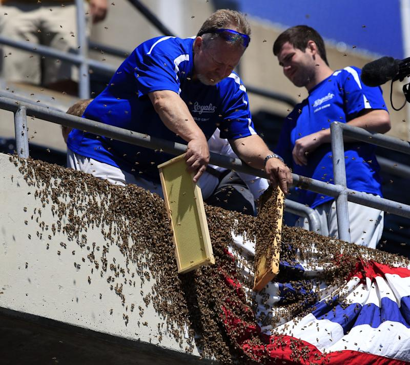 When you work for the Royals grounds crew, it also helps to own a background in beekeeping. (AP Photo/Orlin Wagner)