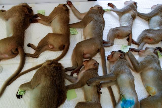 Monkeys are sedated as they recover. (Reuters)