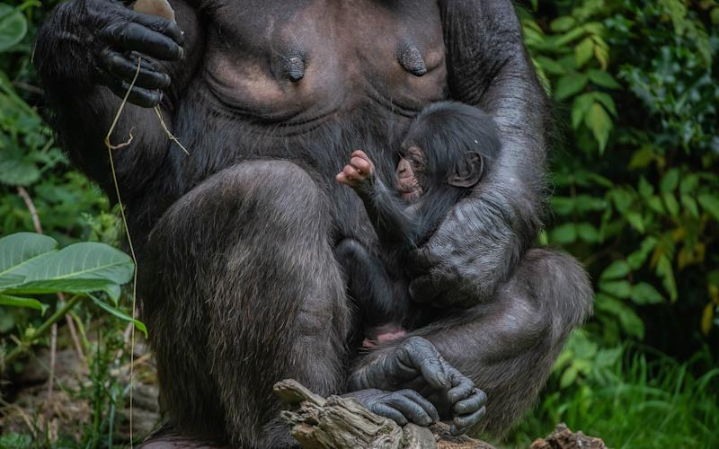 The chimpanzee was born to mother Alice at Chester Zoo this week - Chester Zoo