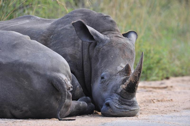 Photo taken on February 6, 2013 shows rhinos resting in the South Africa's Kruger National Park