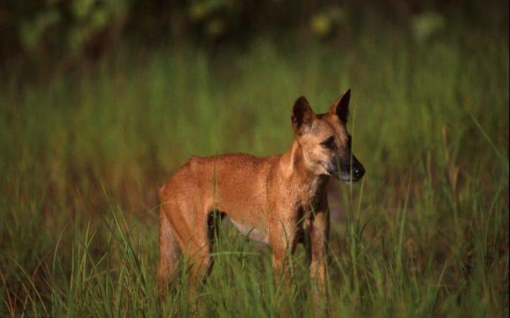 Dingoes have been the target of culls in certain parts of Australia - Getty Contributor/Getty