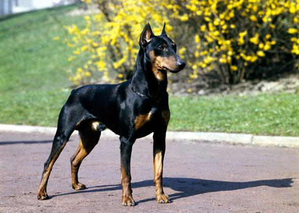 """<div class=""""caption-credit""""> Photo by: Sally Anne Thompson, Animal Photography</div><b>Doberman Pinscher</b> <br> The very first <a rel=""""nofollow noopener"""" href=""""http://www.vetstreet.com/dogs/doberman-pinscher?WT.mc_id=cc_yahoo"""" target=""""_blank"""" data-ylk=""""slk:Doberman Pinscher"""" class=""""link rapid-noclick-resp"""">Doberman Pinscher</a> was created by a tax collector named Louis Dobermann to do one very important job: keep him, along with the money that he carried, safe from thieves. Decades later, during World War II, the United States Marine Corp employed Dobermans in combat as sentries, messengers and scouts. <br>"""