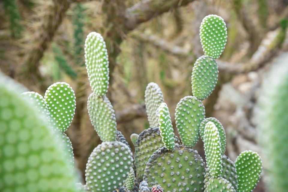 "<p>Taking the second spot is the Bunny Ear Cactus, which gets its name from the fact that it does in fact look like the ears of a rabbit. With an increase of 1,985 per cent, we're certain to see more of these unique plants around homes (and on Instagram feeds). <br></p><p><a class=""link rapid-noclick-resp"" href=""https://go.redirectingat.com?id=127X1599956&url=https%3A%2F%2Fwww.etsy.com%2Fuk%2Flisting%2F851798352%2Fsucculent-opuntia-microdasys-albata-live&sref=https%3A%2F%2Fwww.housebeautiful.com%2Fuk%2Fgarden%2Fplants%2Fg34571764%2Ftrending-houseplants%2F"" rel=""nofollow noopener"" target=""_blank"" data-ylk=""slk:BUY NOW VIA ETSY"">BUY NOW VIA ETSY </a></p>"