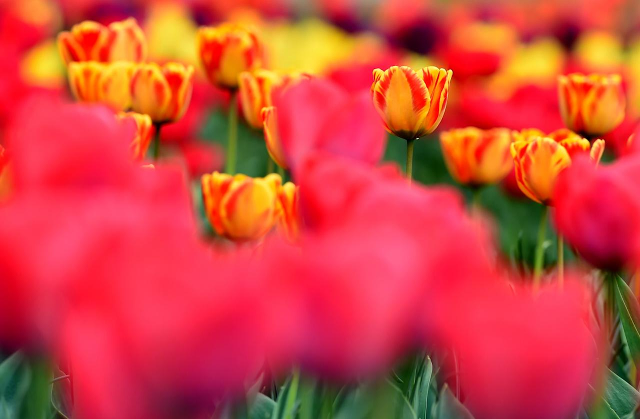 <p>Tulips are pictured in a field at a Tulip Garden, claimed to be Asia's largest, in Srinagar on April 1, 2017. The tourism industry is hoping that 2017 will herald a renewal of tourists to the scenic region after last year's civil unrest drove both domestic and foreign tourists out of the valley. More than 90 civilians have been killed and thousands injured during the latest protests against Indian rule, sparked by the killing on July 8, 2016, of a popular rebel leader of Hizbul Mujahideen during a gunfight with Indian soldiers. Kashmir has been divided between India and Pakistan since their independence from British rule in 1947, and both claim the territory.<br />Tauseef MUSTAFA / AFP </p>