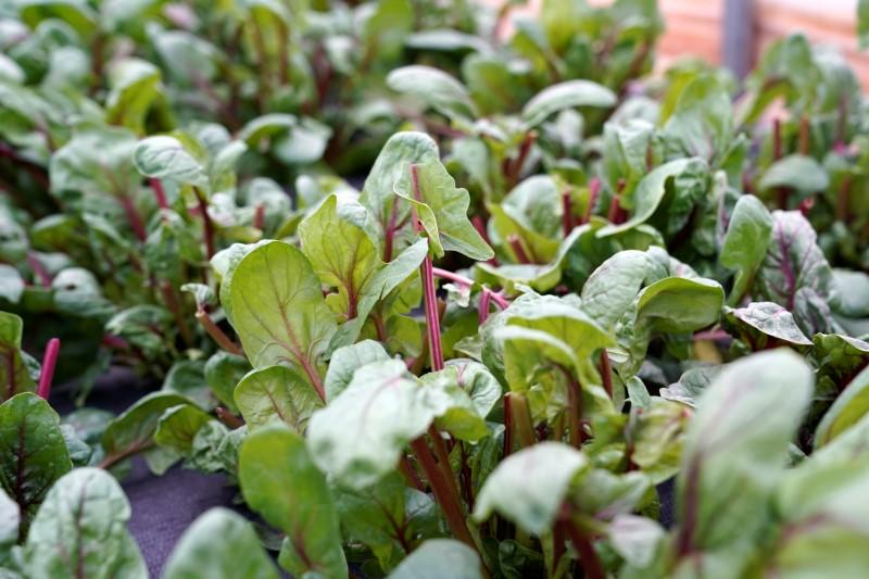 Spinach leaves grow on Carrie Chlebanowski's farm in Alex
