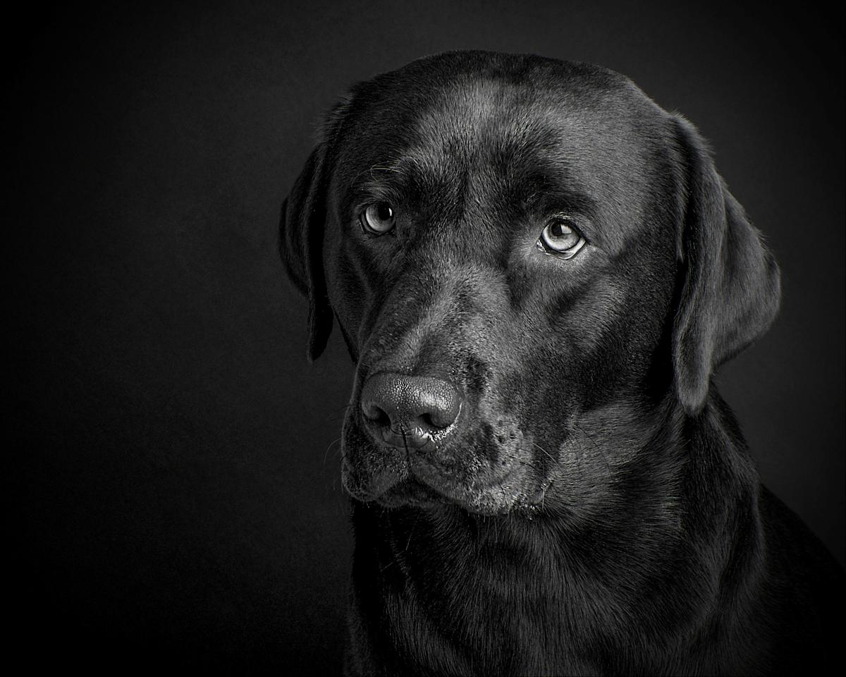 <p>Portrait of labrador – The photo in third place was an animal portrait of a labrador by Michele Campbell from near Kilmarnock in Scotland. Source: Michele Campbell / SWNS </p>
