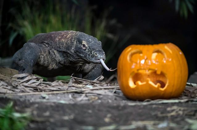 <p>Komodo dragon Jantan stalks a tasty treat ahead of Halloween at Chester Zoo in Chester, Britain, on Oct. 17, 2017. (Photo: Chester Zoo/Caters News) </p>