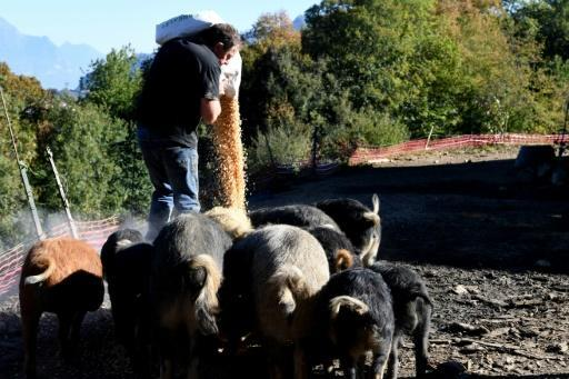 Michel Guidet feeds corn, chestnuts and other foodstuffs to his free-ranging Mangalitzas