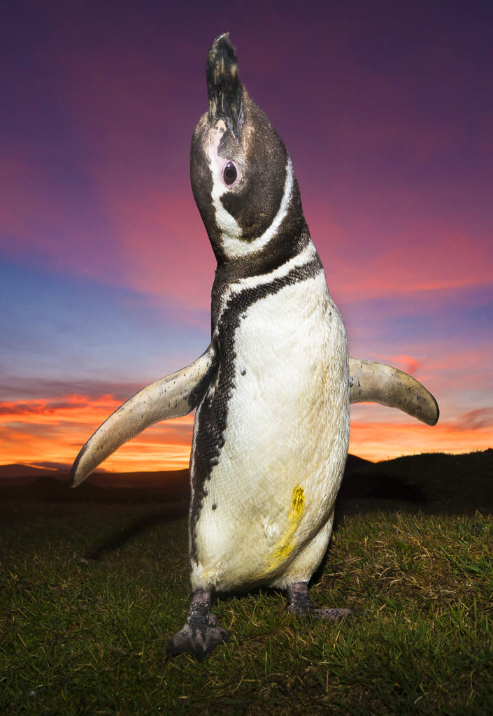 <p>A king penguin takes in the colorful dawn, Falkland Islands. (Photo: Wim van den Heever/Caters News) </p>