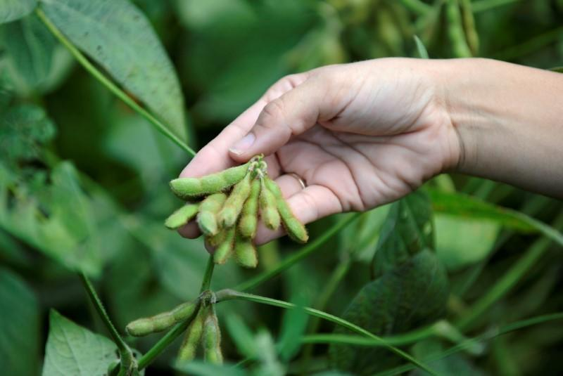 FILE PHOTO: Meagan Kaiser holds a still-growing soybeans near Norborne, Missouri
