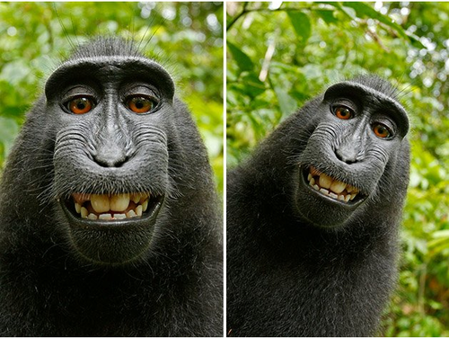 Smiling macaque