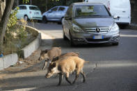 Wild boars cross a street in Rome, Friday, Sept. 24, 2021. They have become a daily sight in Rome, families of wild boars trotting down the city streets, sticking their snouts in the garbage looking for food. Rome's overflowing rubbish bins have been a magnet for the families of boars who emerge from the extensive parks surrounding the city to roam the streets scavenging for food. (AP Photo/Gregorio Borgia)
