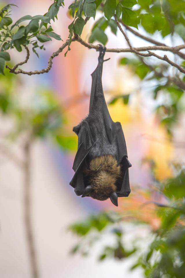 Bat upside down on a branch. (Getty Images)