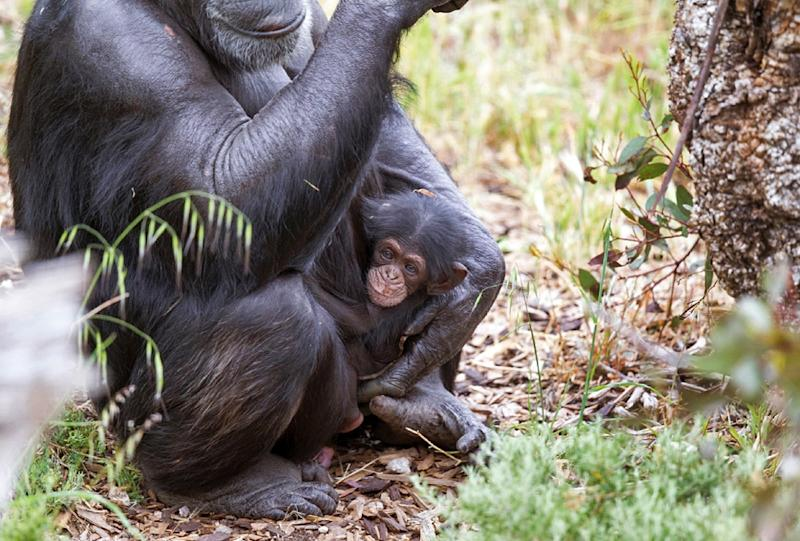 Baby chimp Boon - who was orphaned when his mother Soona died shortly after he was born on October 9, 2015 - clings to his new adopted mother Zombi in Monarto Zoo, southeast of Adelaide, Australia (AFP Photo/David Mattner)